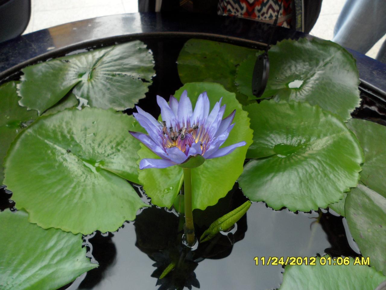 태국의연꽃속에벌